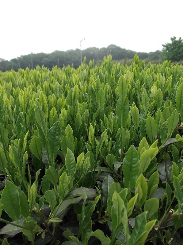 狭山茶の若芽
