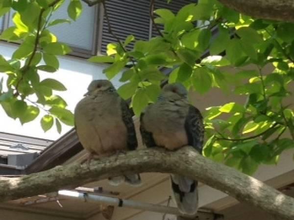 読者さんのお宅のお庭に鳩のつがいが